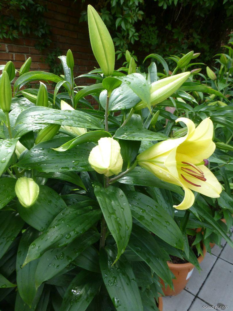 Lilia - Lilium x hybridum Eldoret