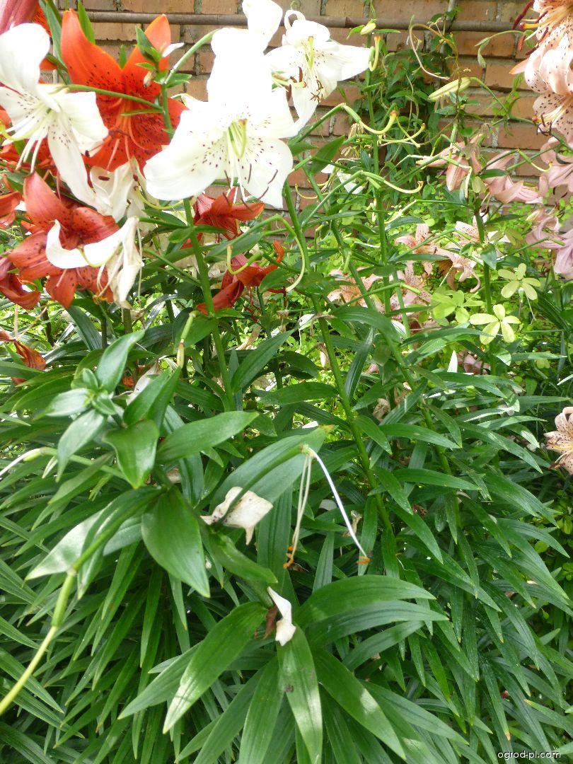 Lilia - Lilium x hybridum White Twinkle