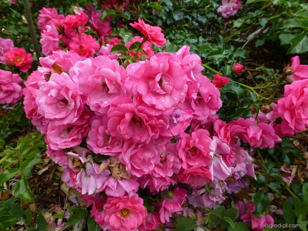 Róża - Rosa Heidetraum