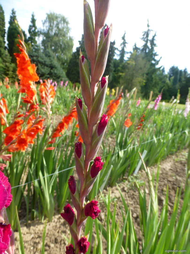 Mieczyk - Gladiolus Mallorca Exotic