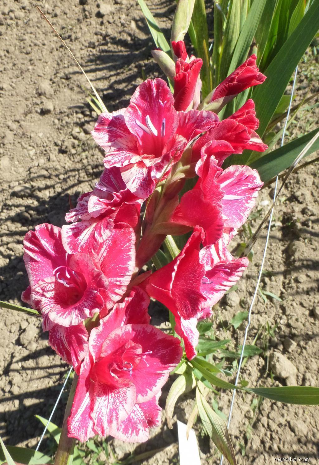Mečík Rigel Exotic (Gladiolus x hybridus)