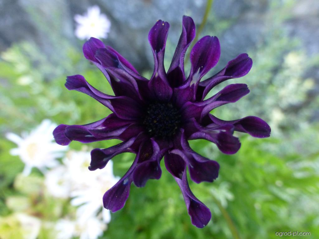 Paprskovka Nasinga Purple - květ (Osteospermum ecklonis)