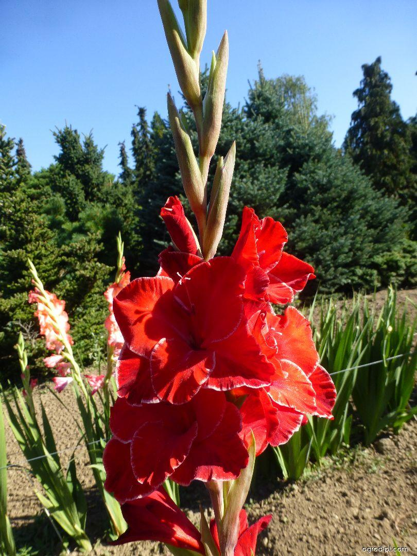 Mečík Kant (Gladiolus x hybridus)