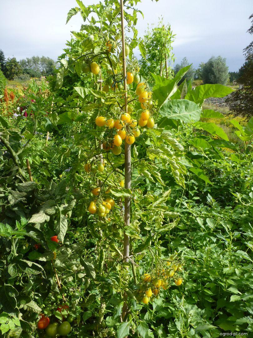 Rajče jedlé Ildi (Solanum lycopersicum)
