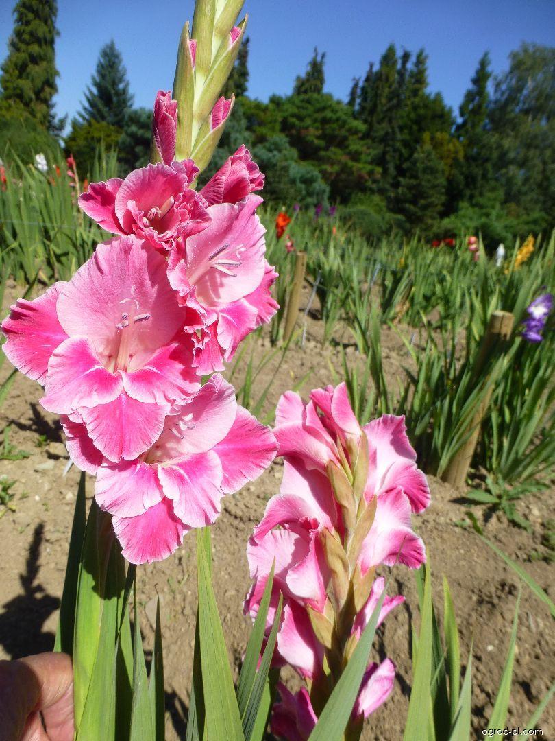 Mečík Zita (Gladiolus x hybridus)