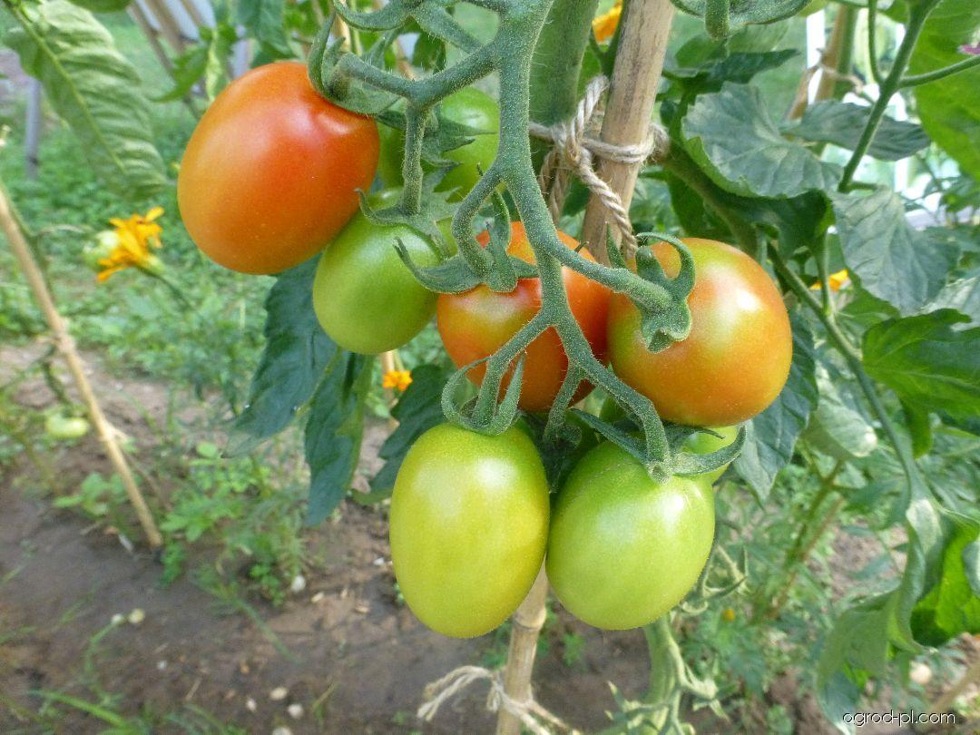 Rajče jedlé Pollicino (Solanum lycopersicum)