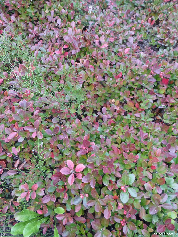 Golteria rozesłana - Gaultheria procumbens