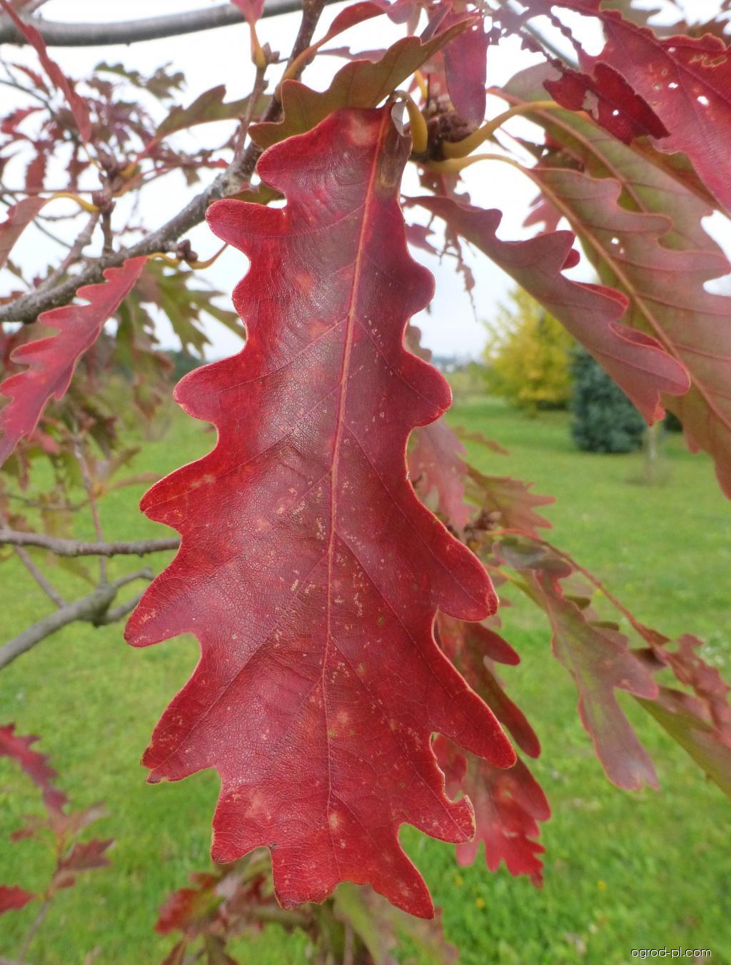 Dub horní Laciniata Pyramidalis - podzimní list (Quercus montana)
