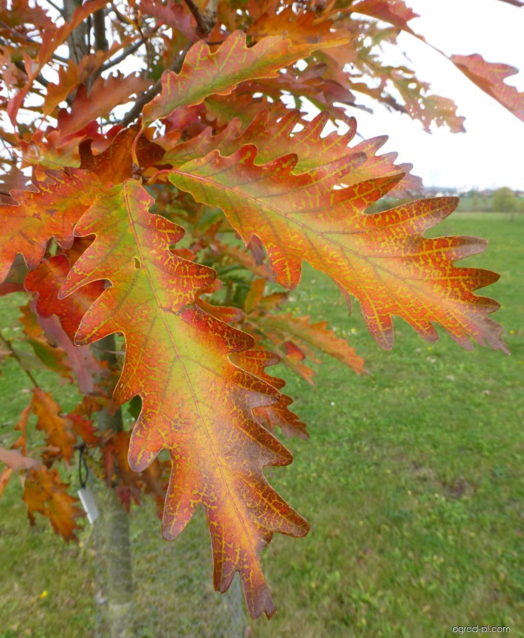 Dub horní Laciniata Pyramidalis - podzimní barvení (Quercus montana)