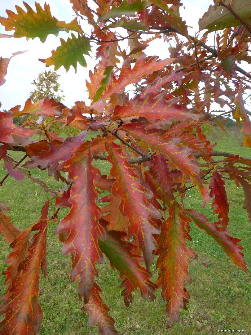 Dub horní Laciniata Pyramidalis - větévka s podzimním listem (Quercus montana)