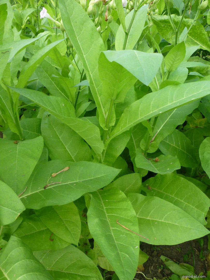 Tabák virginský - list (Nicotiana tabacum)