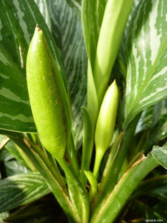 Aglaonema - květ (Aglaonema costatum)
