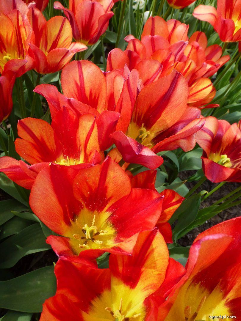 Tulipán Colour Spectacle (Tulipa x hybrida)