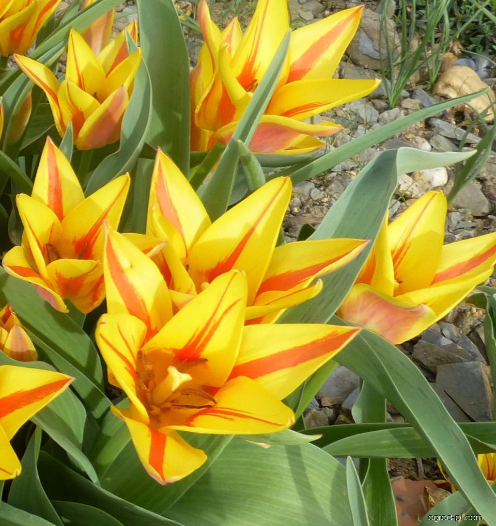 Tulipán Greigův Winnipeg (Tulipa greigii)