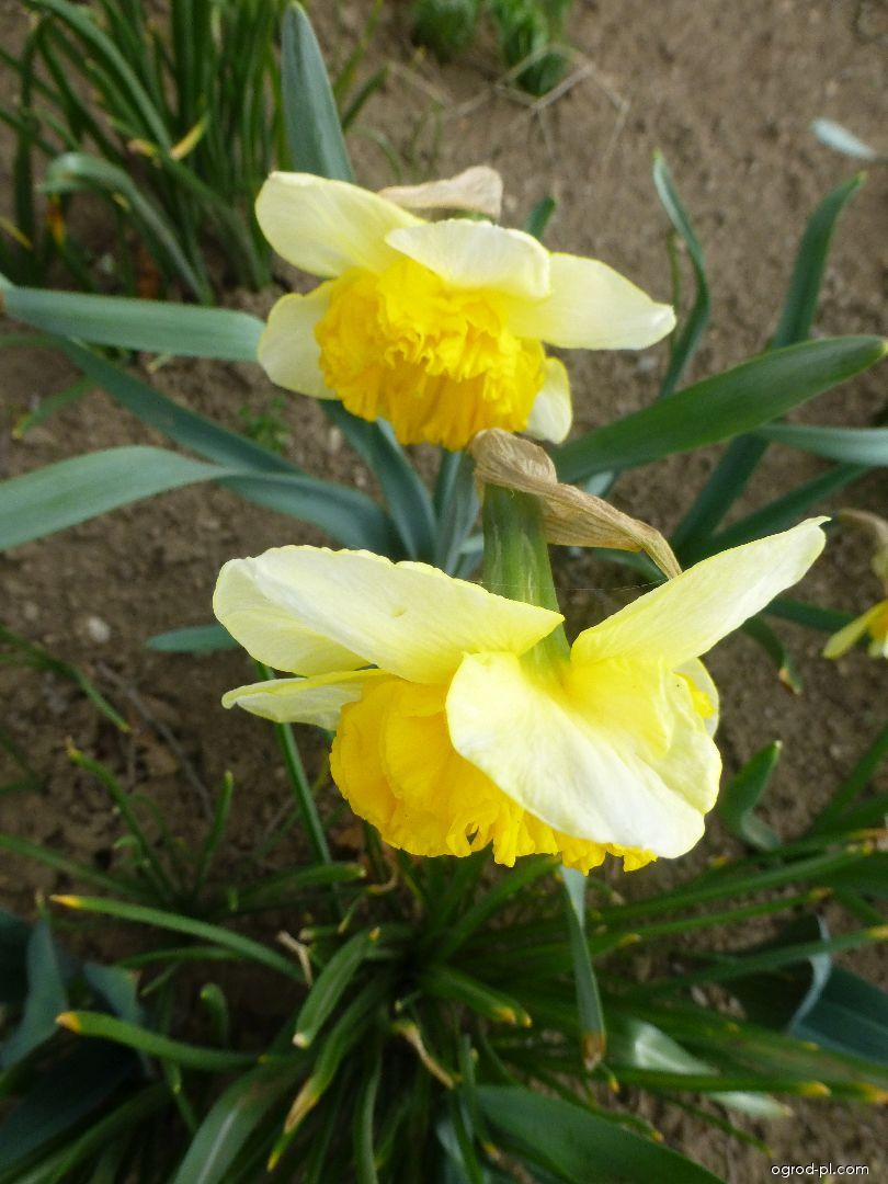 Narcissus Curly (narcyz)