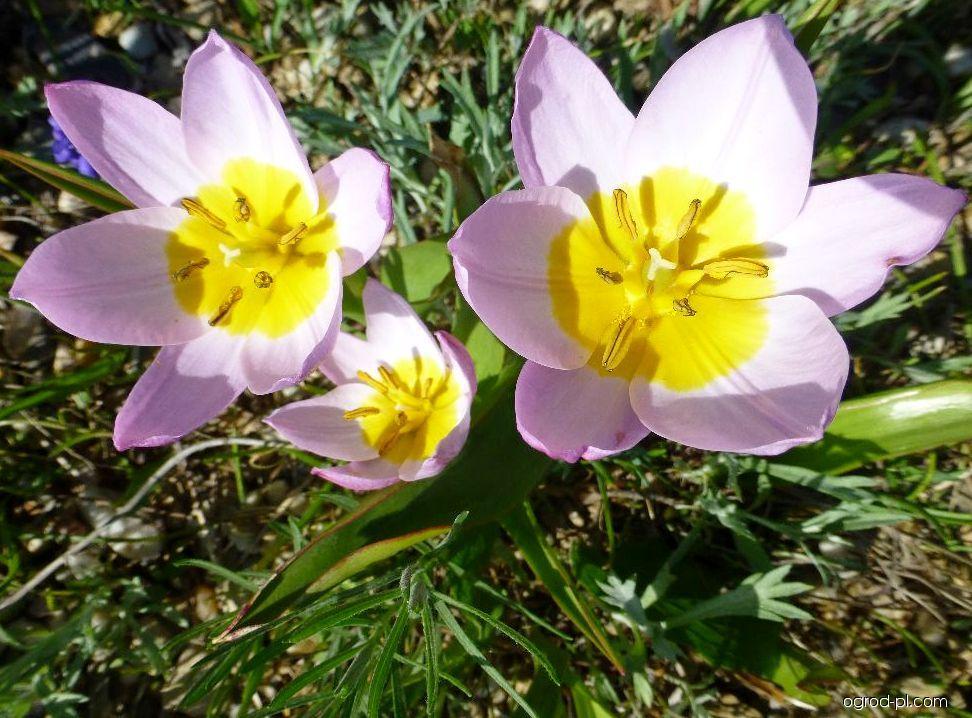 Tulipán skalní (Tulipa saxatilis)