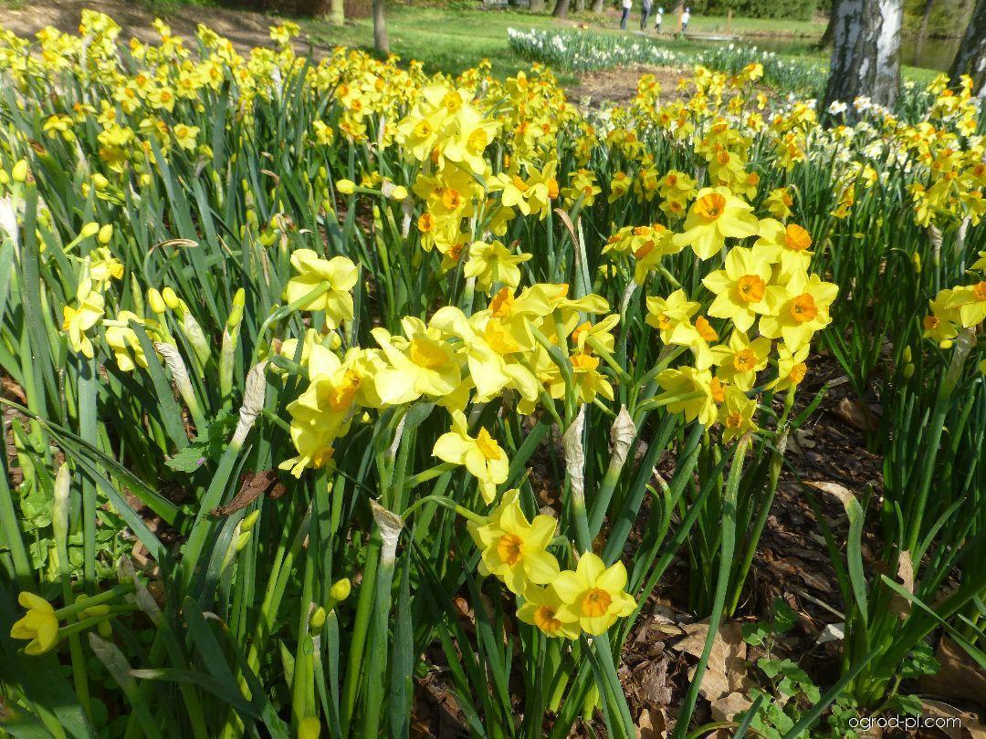 Narcyz - Narcissus Falconet
