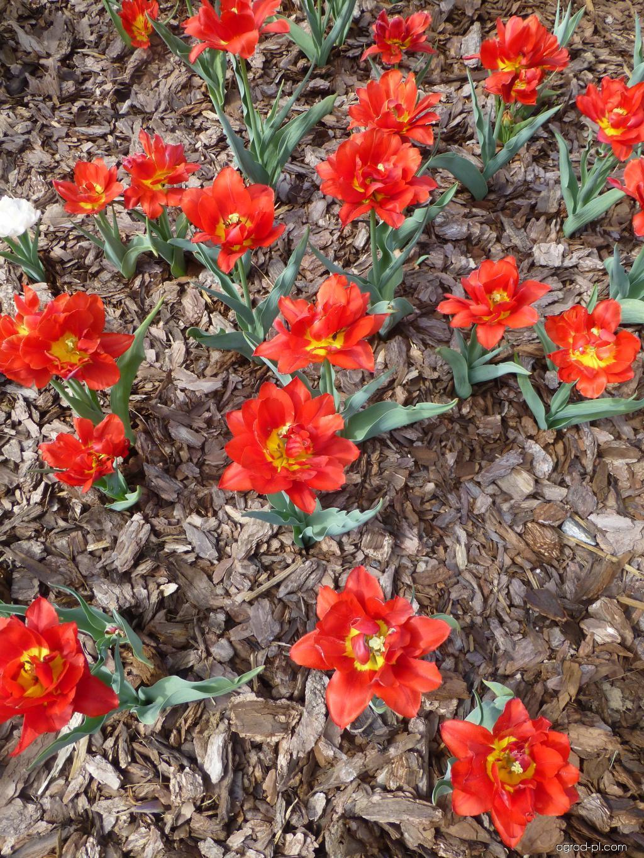 Tulipan - Tulipa Abba