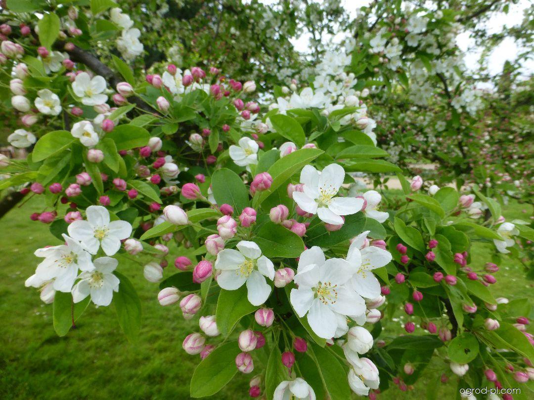Jabloň drobnoplodá - v květu (Malus baccata)