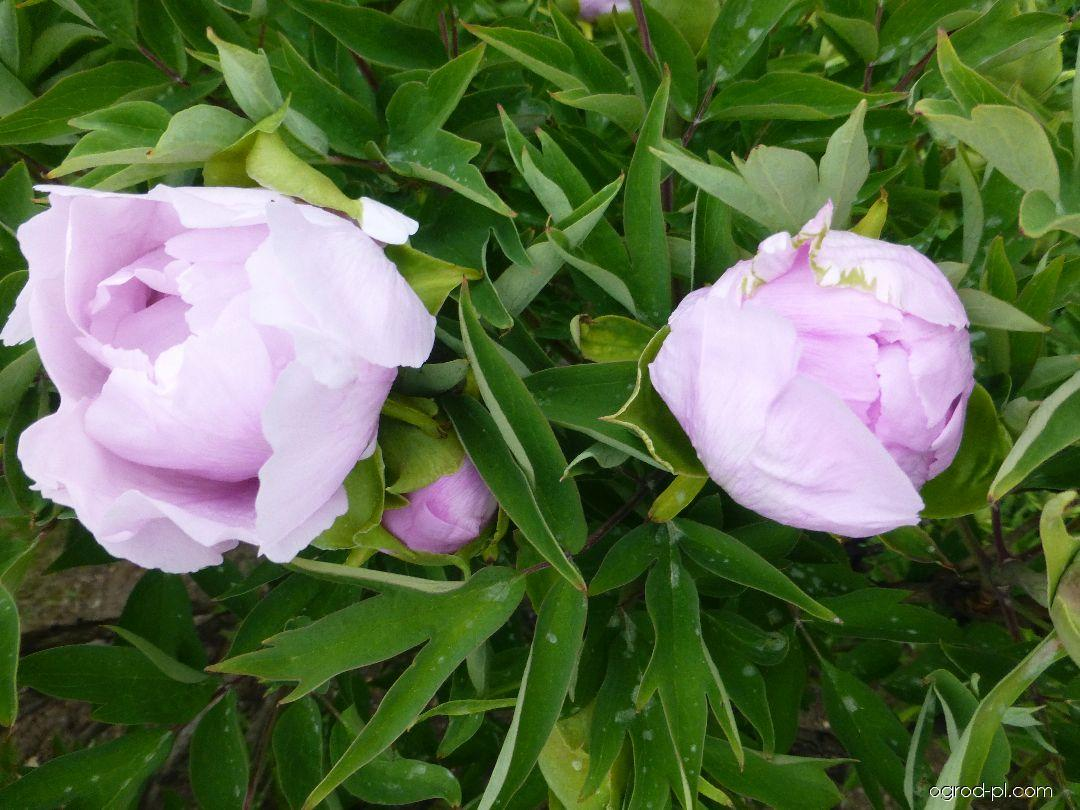 Piwonia drzewiasta - Paeonia suffruticosa Chun Jing