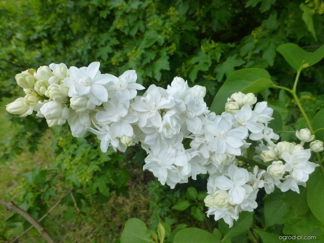 Lilak pospolity - Syringa vulgaris Saint Margaret