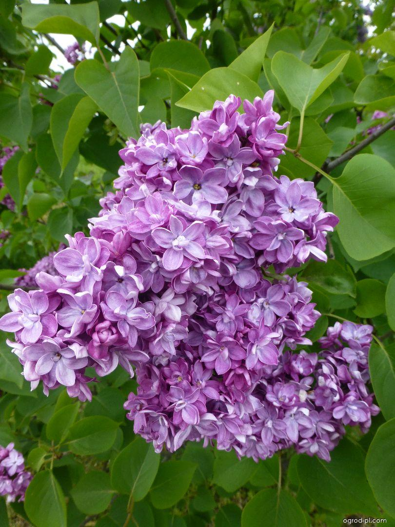 Lilak pospolity - Syringa vulgaris Anne Tighe
