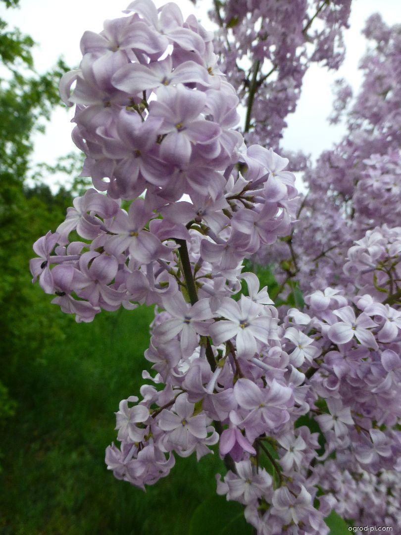 Lilak pospolity - Syringa vulgaris Romance