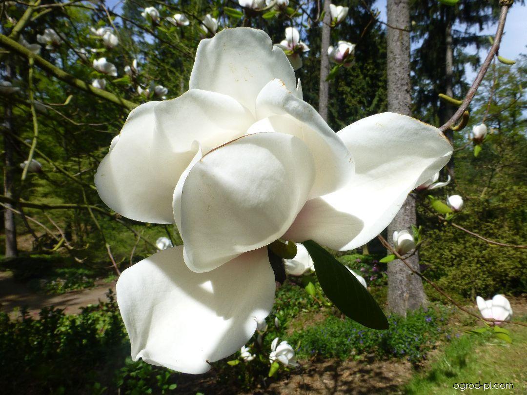 Magnolia - Magnolia Phelan Bright