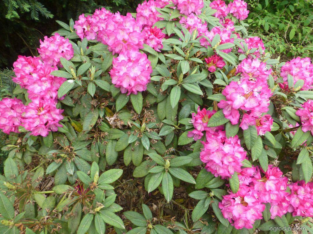 Pěnišník výborný Karin Seleger (Rhododendron insigne)