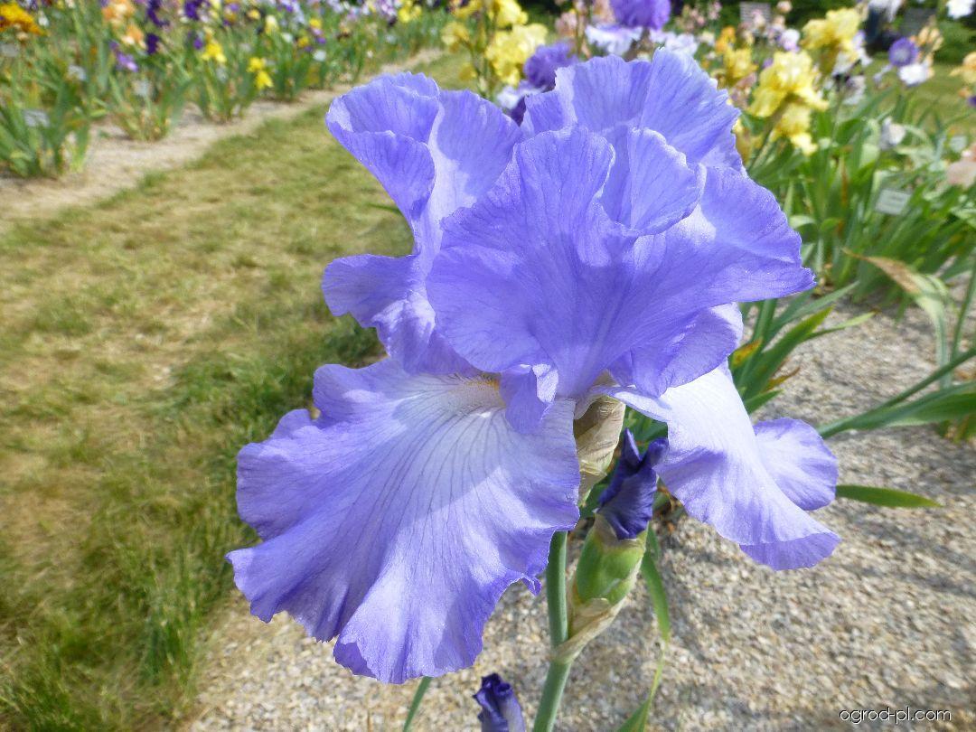 Kosaciec bródkowy - Iris barbata Heure Bleue