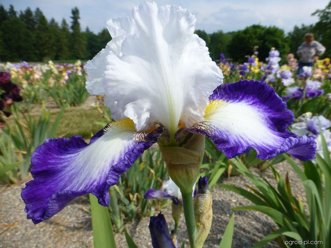 Kosaciec bródkowy - Iris barbata Futuriste