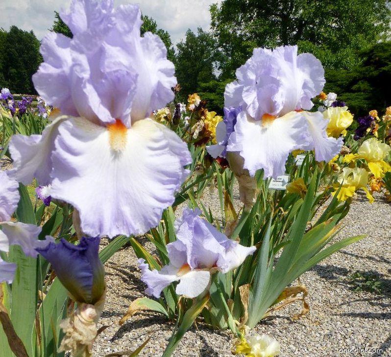 Kosaciec bródkowy - Iris barbata Grecian Skies