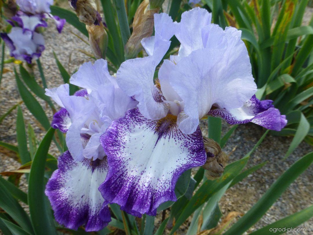 Iris barbata Everything Plus (Kosaciec bródkowy)