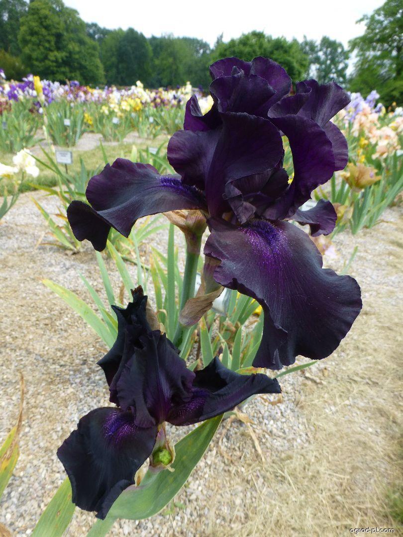 Kosatec bradatý Superstition (Iris barbata elatior)