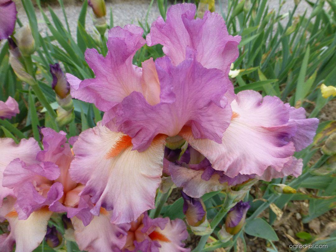 Kosaciec bródkowy - Iris barbata Believe in Magic