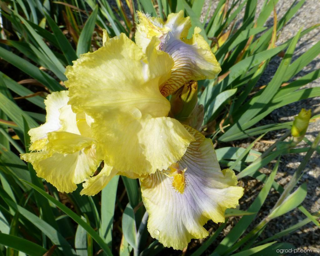 Kosaciec bródkowy - Iris barbata Canary Feathers
