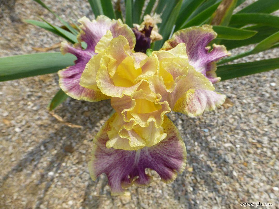 Kosaciec bródkowy - Iris barbata Breakout