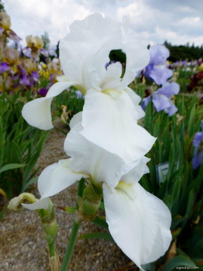 Kosaciec bródkowy - Iris barbata Helen McKenzie