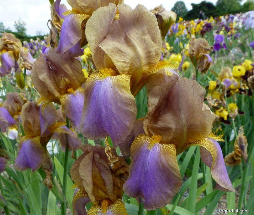 Kosaciec bródkowy - Iris barbata Evolution
