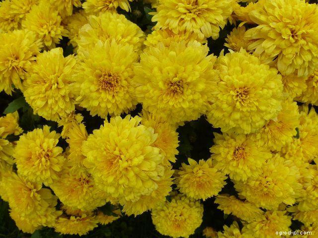 Chryzantema ogrodowa - Chrysanthemum x grandiflorum Zina