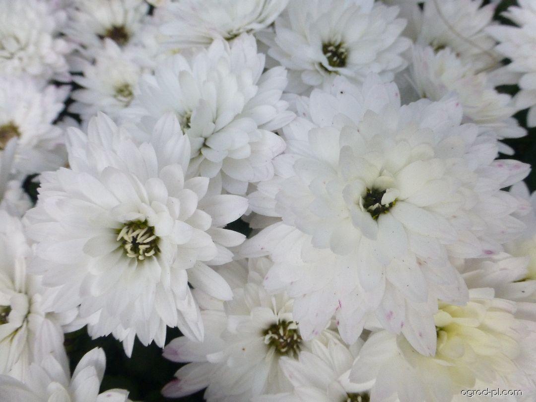 Chryzantema ogrodowa - Chrysanthemum x grandiflorum Nikola bílá