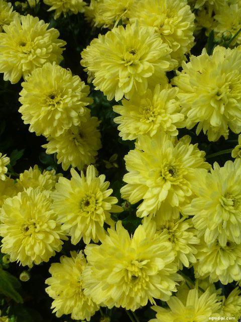 Chryzantema ogrodowa - Chrysanthemum x grandiflorum Světla žlutá