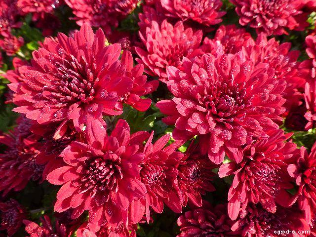 Listopadka zahradní Uršula (Chrysanthemum x grandiflorum)