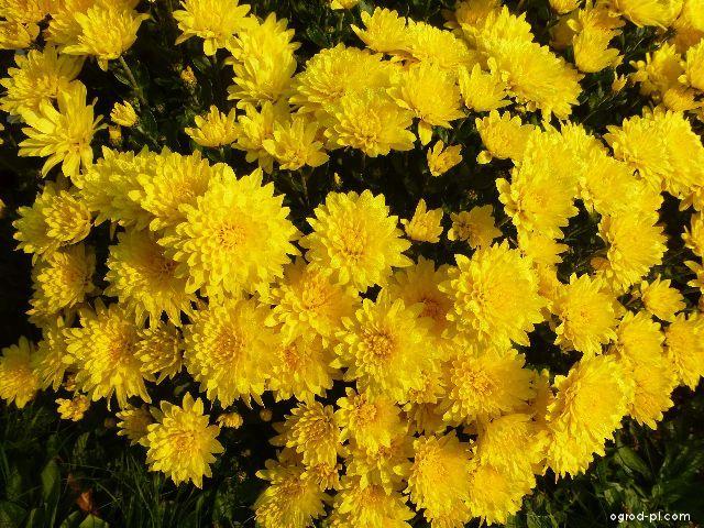 Chryzantema ogrodowa - Chrysanthemum x grandiflorum Klára