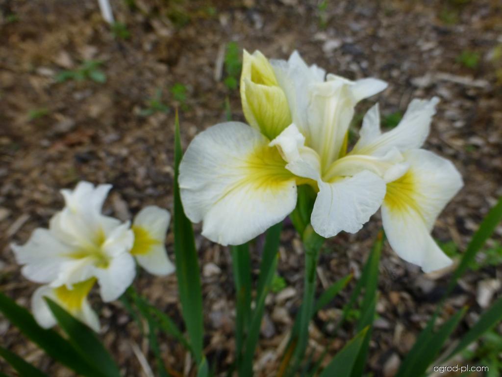 Kosaciec syberyjski - Iris sibirica Elegance and Simplicity