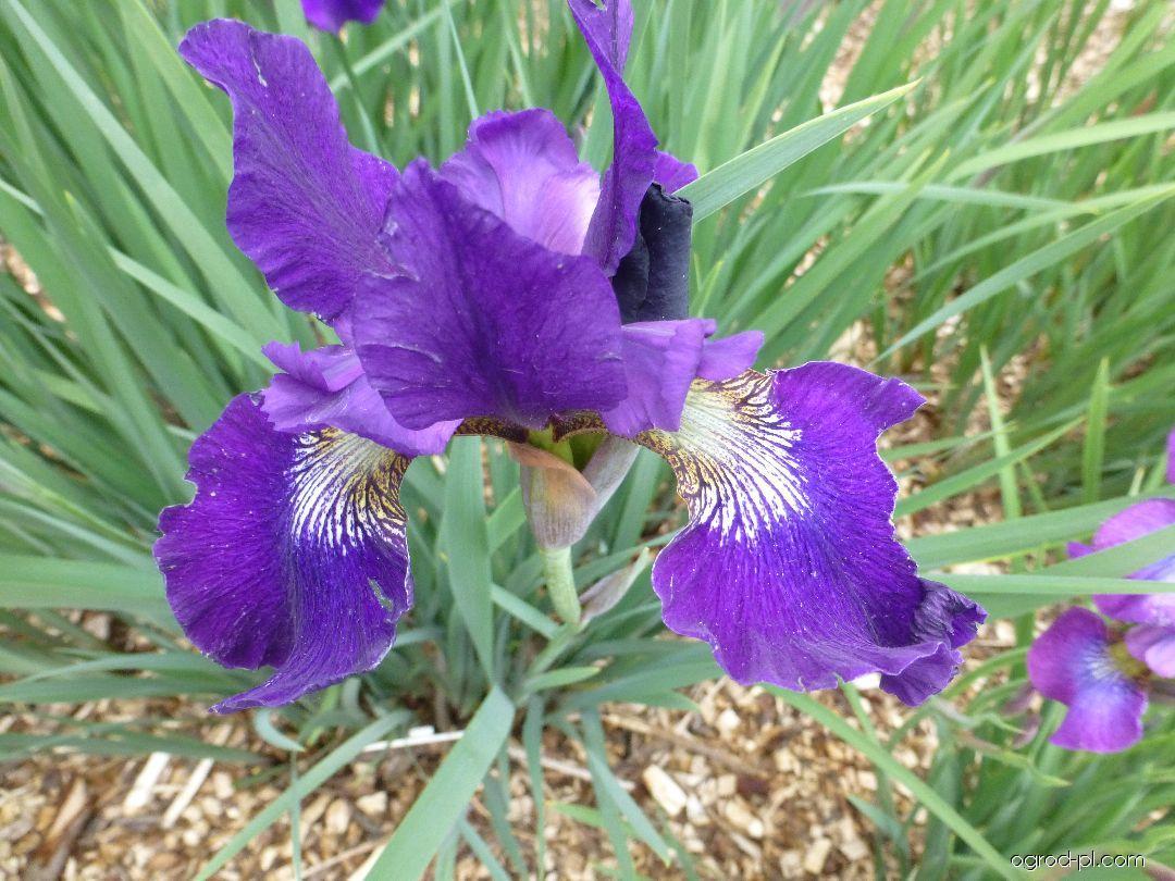Kosatec sibiřský Teal Velvet (Iris sibirica)