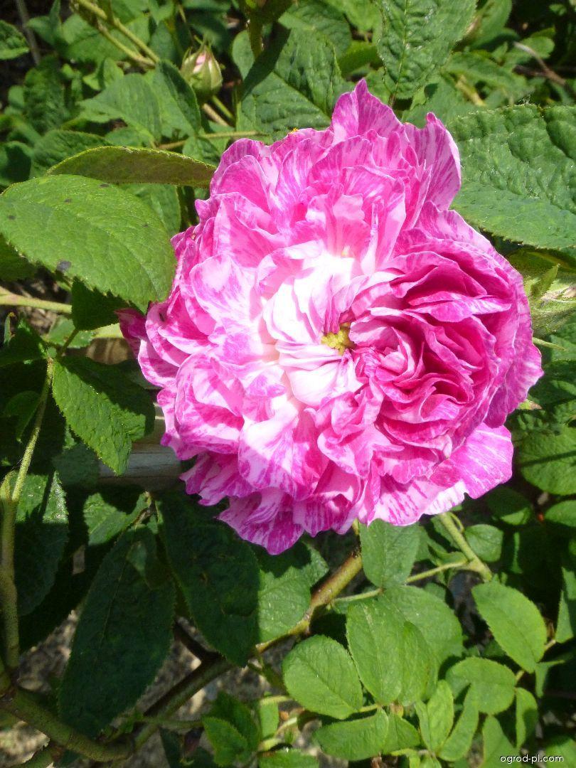 Róża - Rosa Camaieux
