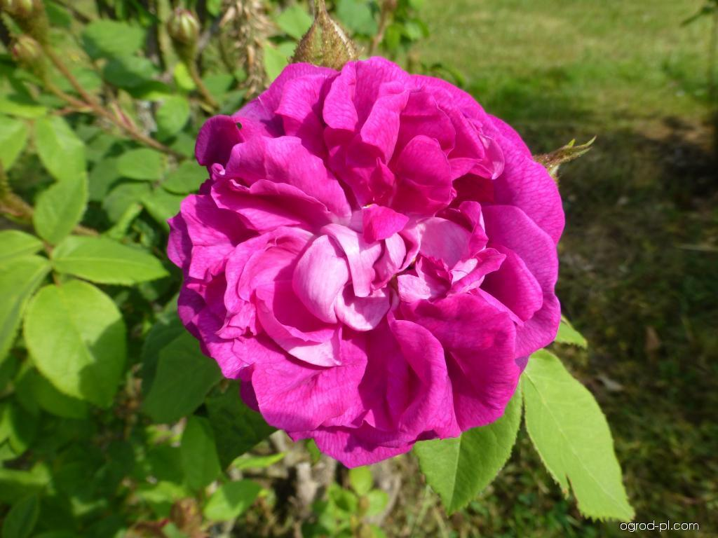 Róża - Rosa William Lobb