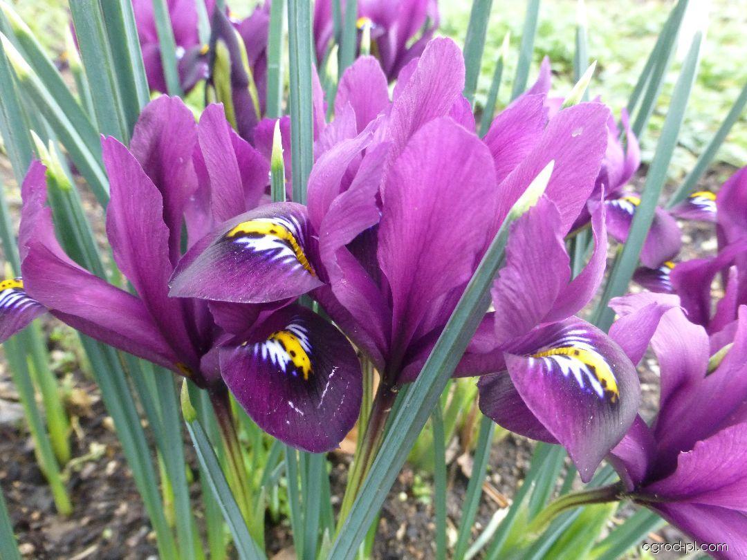 Kosatec George (Iris histrioides)