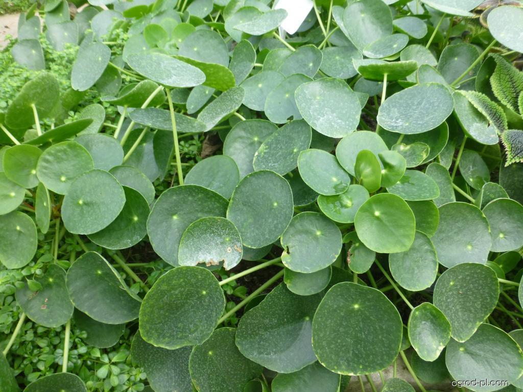 Pilea (Pilea peperomioides)